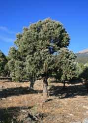 Trees and shrubs great basin national park us national park pinyon pine tree mightylinksfo