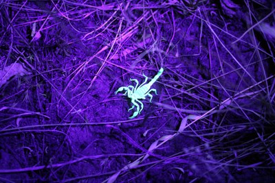 green-glowing scorpion under blacklight