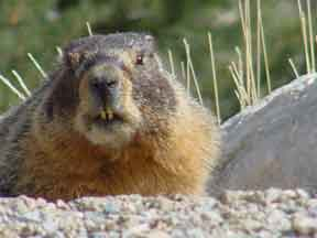A yellow-bellied marmot pokes her head out from behind a rock.