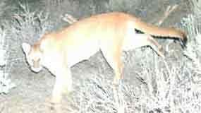 Mountain lion captured by remote camera steals through the night.