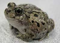 This spadefoot toad was the first amphibian found in Great Basin National Park.