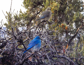 A male and female bluebird in a tree