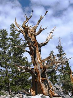 sculpted bristlecone pine