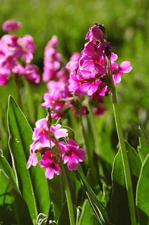 Bright pink flowers in long grass