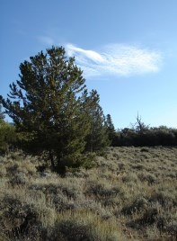 Pinyon pine sagebrush