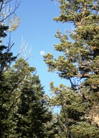 White Fir and the Full Moon
