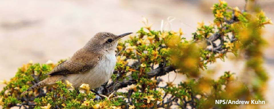 right side profile of canyon wren sitting on cliff rose branch.