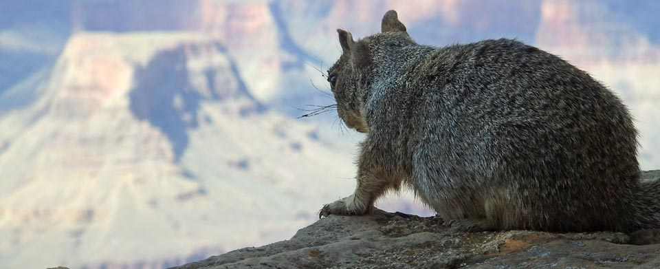 Sitting on a rock ledge and looking out across Grand Canyon, a rock squirrel is seen from behind. It's face is not visible.