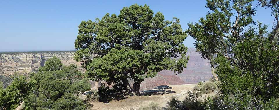 Large, round juniper tree on the rim of Grand Canyon