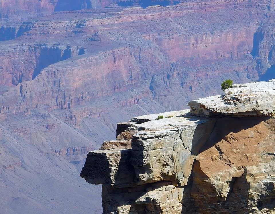 A small, round juniper tree (about 1 foot high) on a rocky ledge with Grand Canyon in the background.