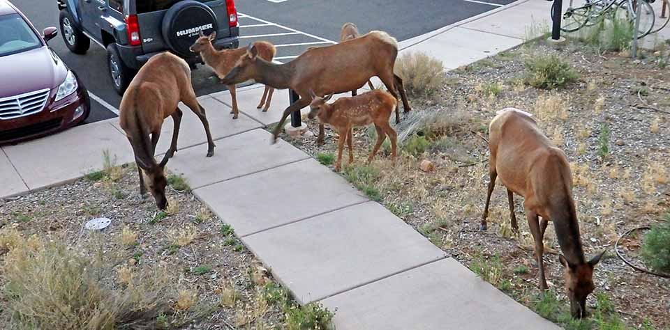 3 cow elk with 3 fawns browsing by sidewalk intersection next to asphalt parking area. Two park cars are behind the elk.