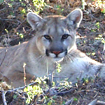 P-16, a male mountain lion, sitting in a bush