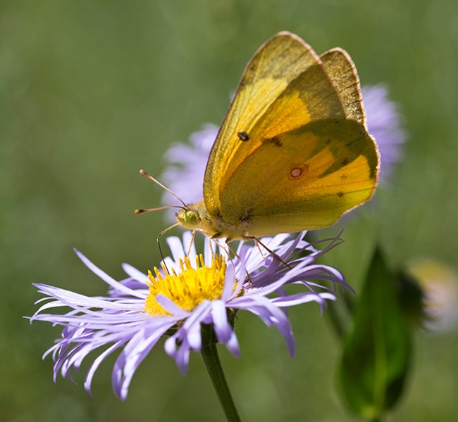 An orange butterfly perches on a flower with thin purple petals, the background is out of focus and shows other such flowers.