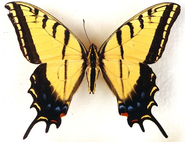 Yellow swallowtail butterfly pinned to white paper