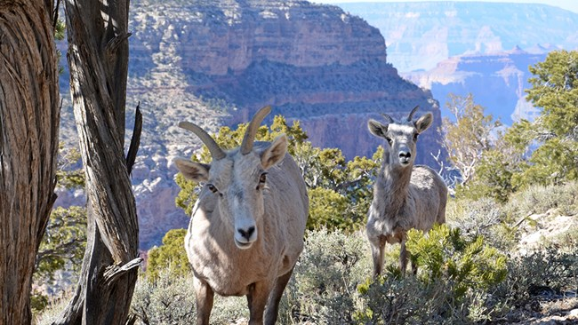 Two bighorn sheep in front of a canyon backdrop.