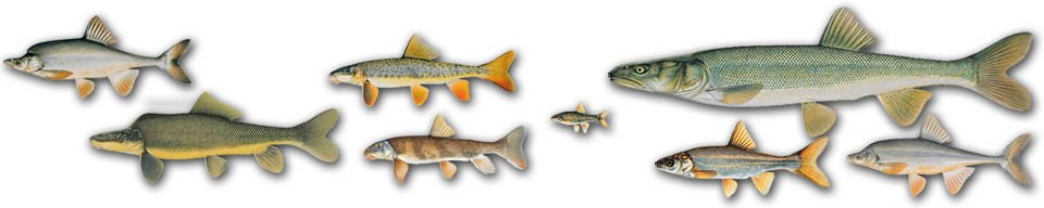 Relative size illustrations of the eight Grand Canyon native fish, all in profile and left-facing.