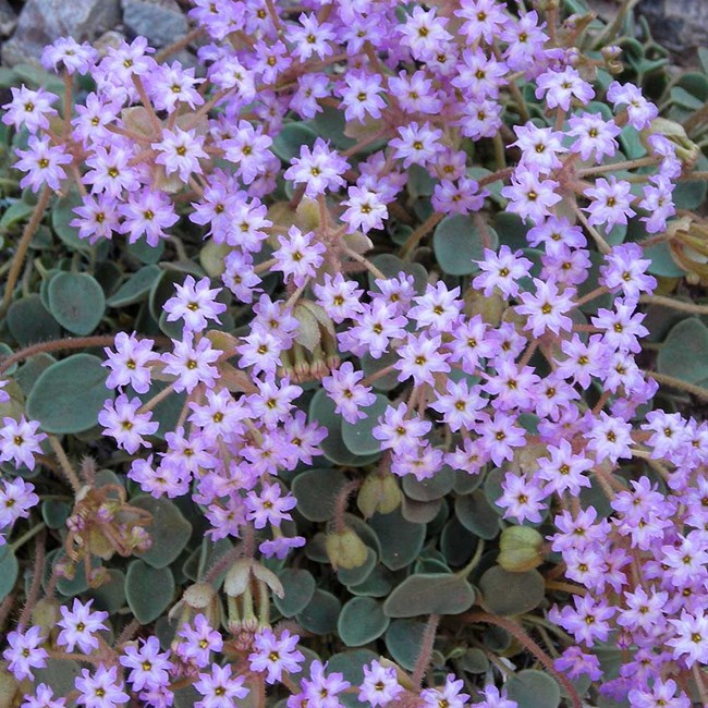 clusters of small purple flowers