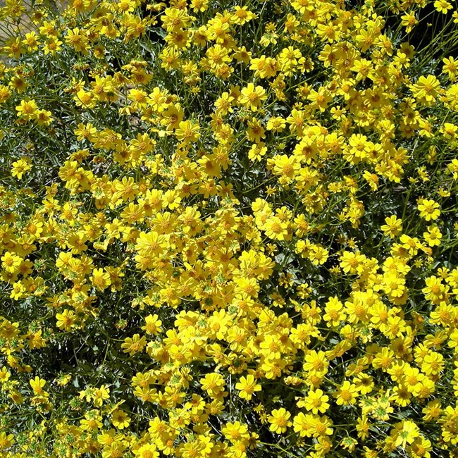 Many yellow flowers with elongated petals clustered among green leaves