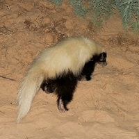 American Hog-nosed Skunk