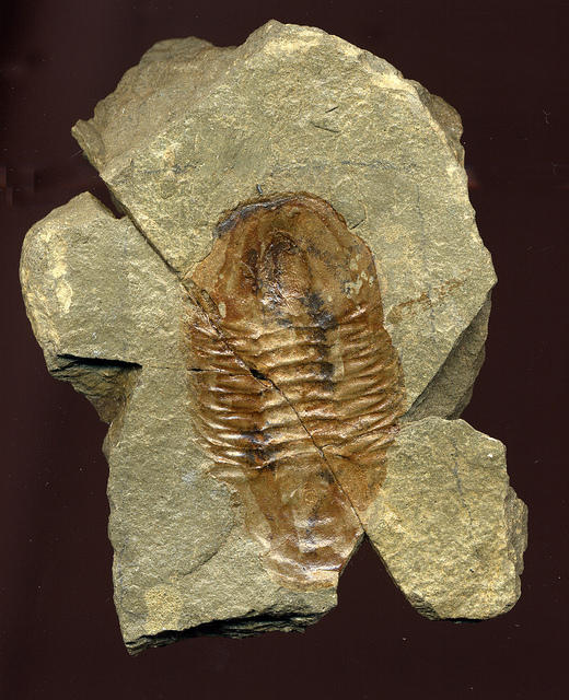 Fossil trilobite in Bright Angel Shale.