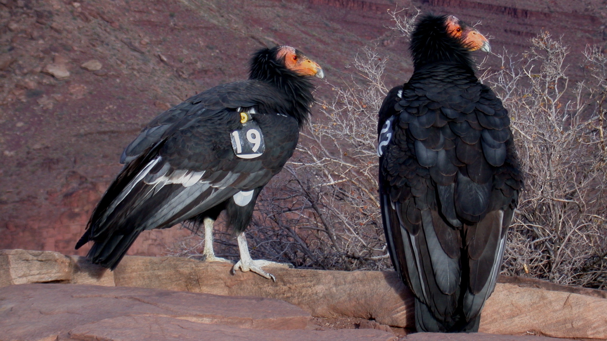 2 condors perched on a rock