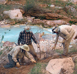 2011 tamarisk removal Havasu Creek