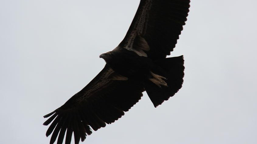 Large dark bird flying
