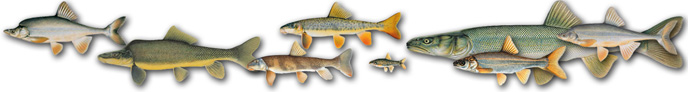illustrations of the eight Grand Canyon native fish.