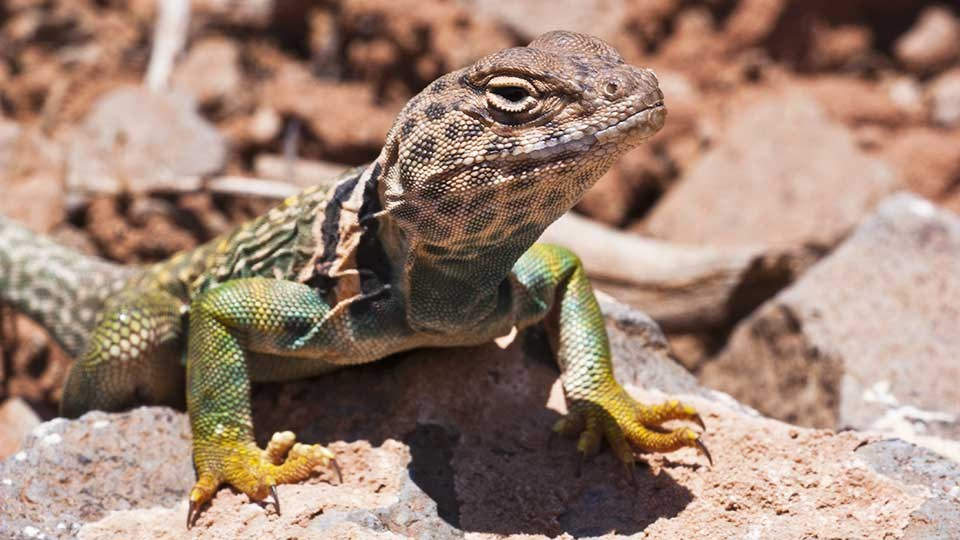Brightly yellow, green and blue colored lizard on a red rock