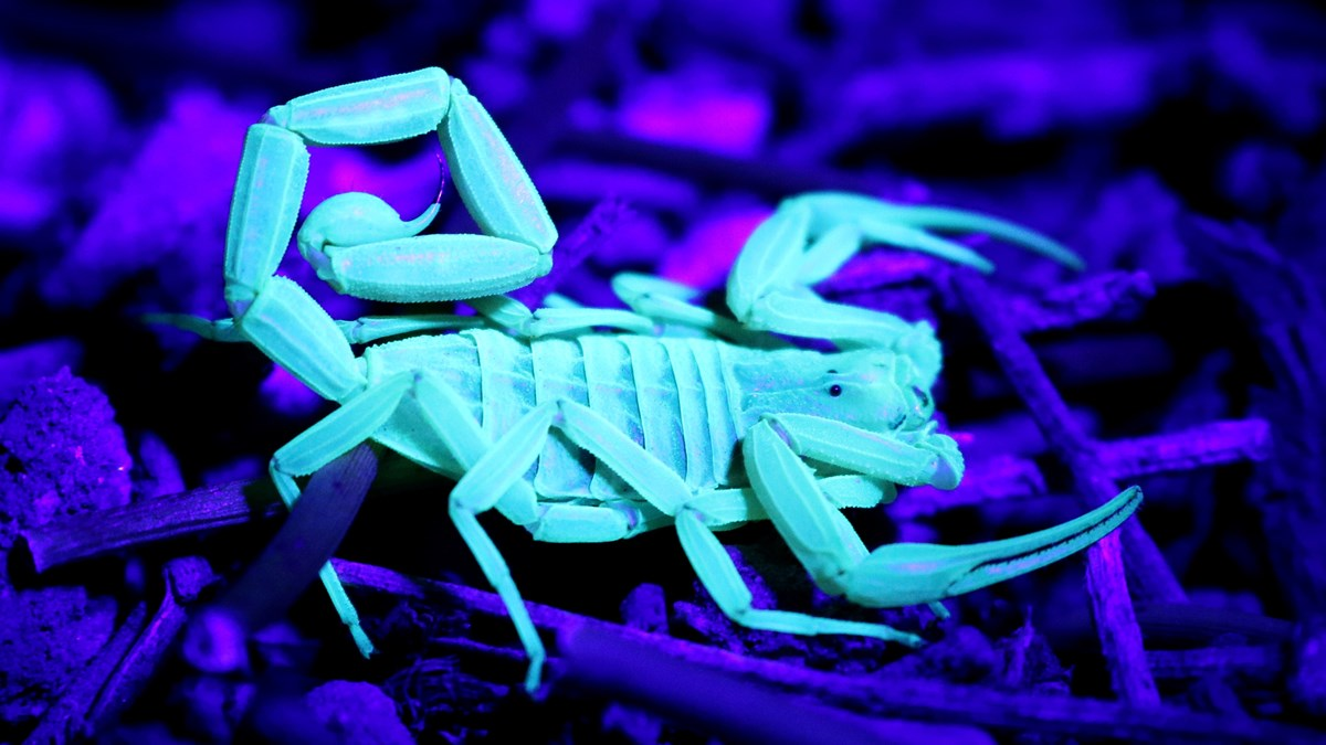 Small scorpion glowing white