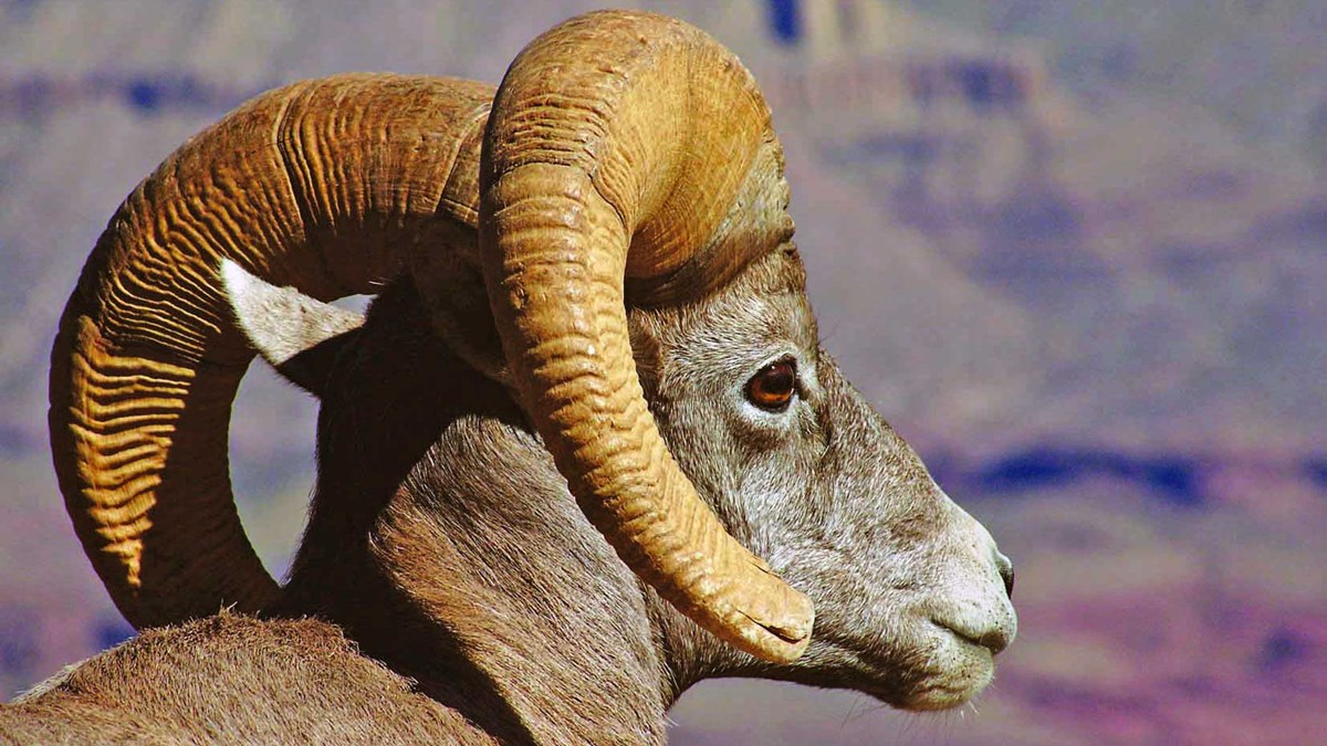 Close-up of a bighorn ram's head in profile, facing to the right. the curve of both horns is visible.