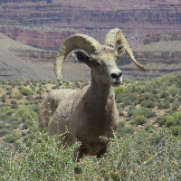 Bighorn sheep in scrub