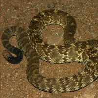 Rattlesnake with black tip on its tail.