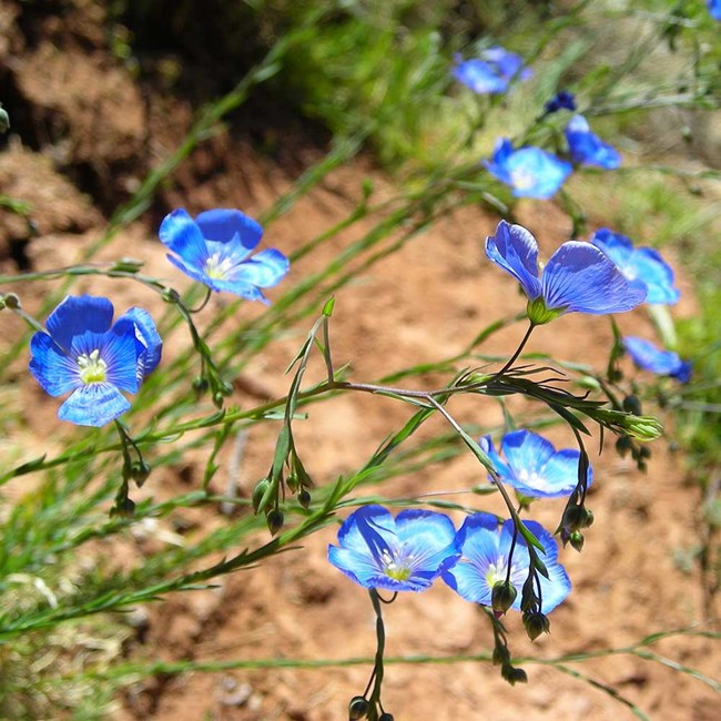 blue flowers with five petals