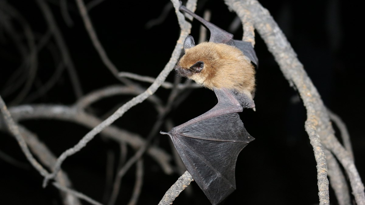 A furry brown bat with wings outstretched, is perched on a tree branch.