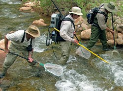 electrofishing in Shinumo Creek before the translocation.