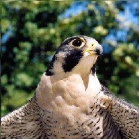 Peregrine falcon perched.