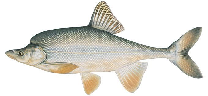 Painting of Humpback Chub (Gila-cypha) by Joe Tomelleri.