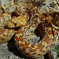 Yellow and orange gopher snake