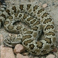 Light colored snake with dark spots