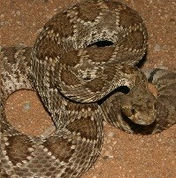 Rattlesnake coiled on sand