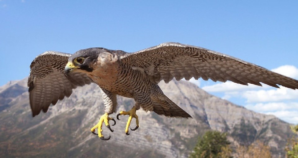 Falcon flying
