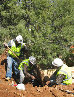 3 crew members replanting a large pinyon pine.