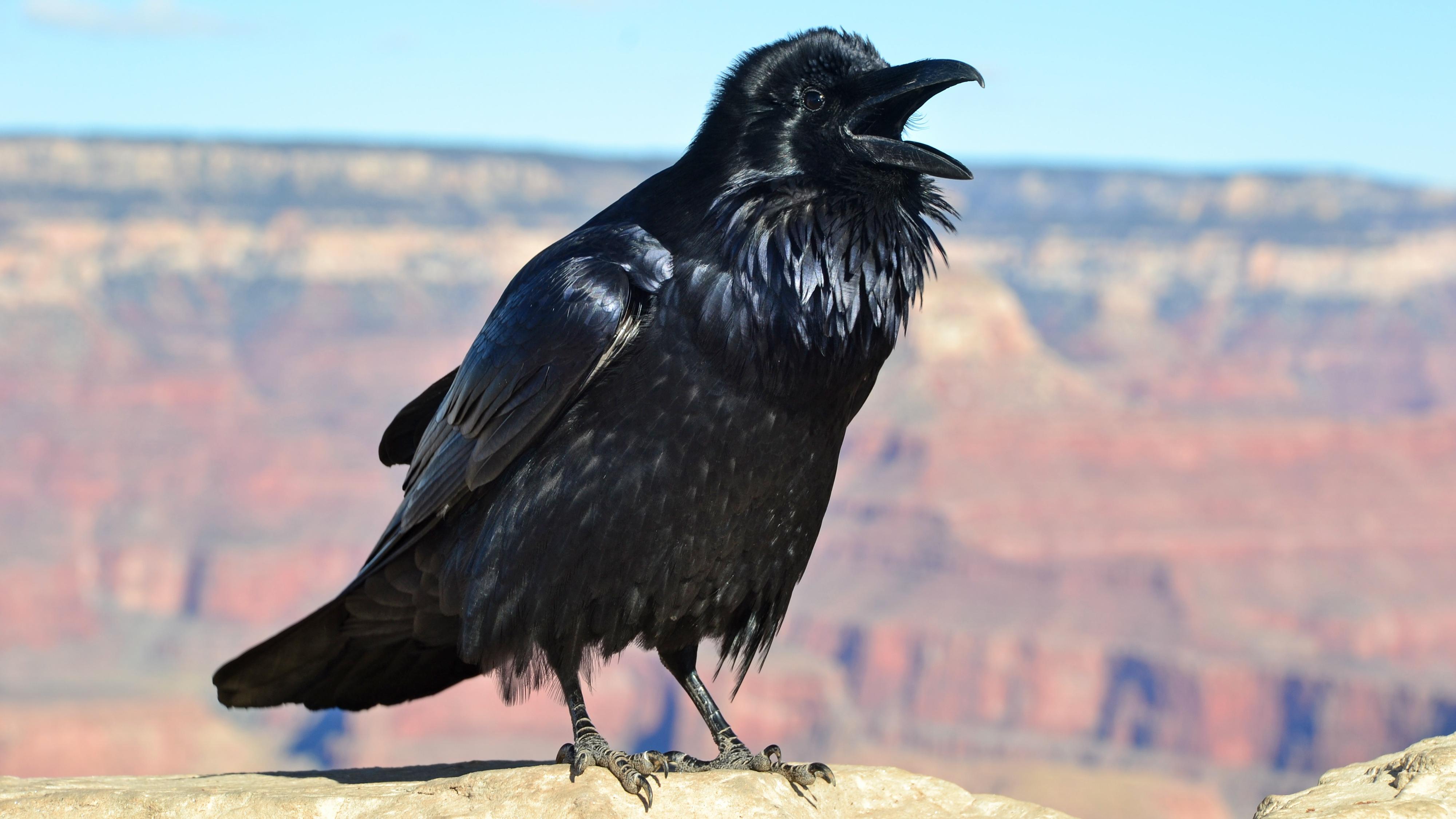 black gallery Raven