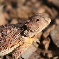 Small short-horned lizard in profile