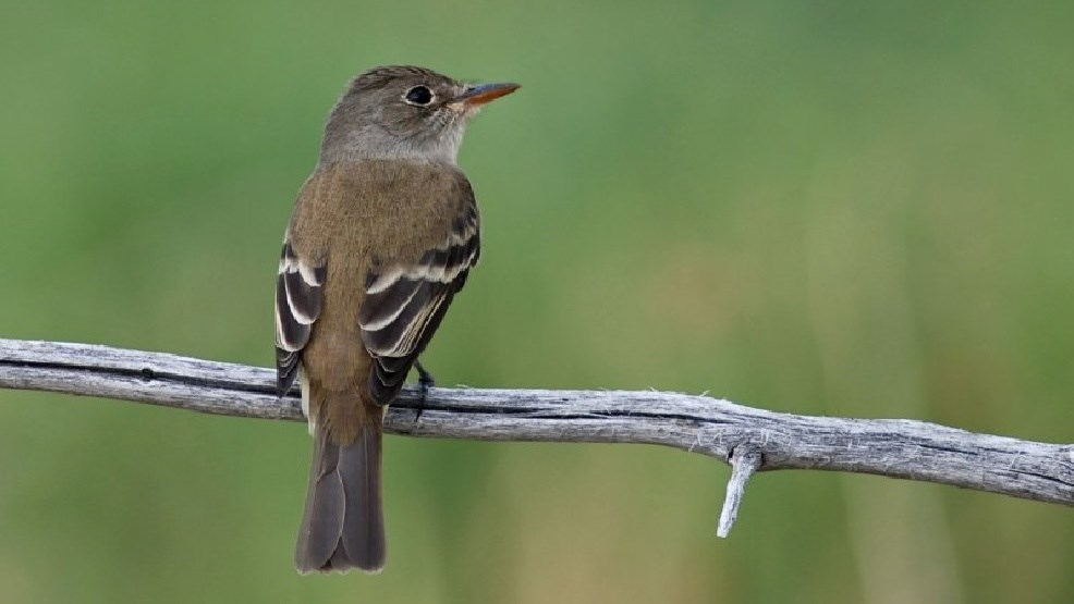 Image result for Southwestern willow flycatcher