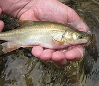 Chub recaptured in Shinumo Creek
