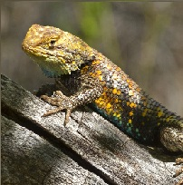 Yellow spiny lizard perched on a log