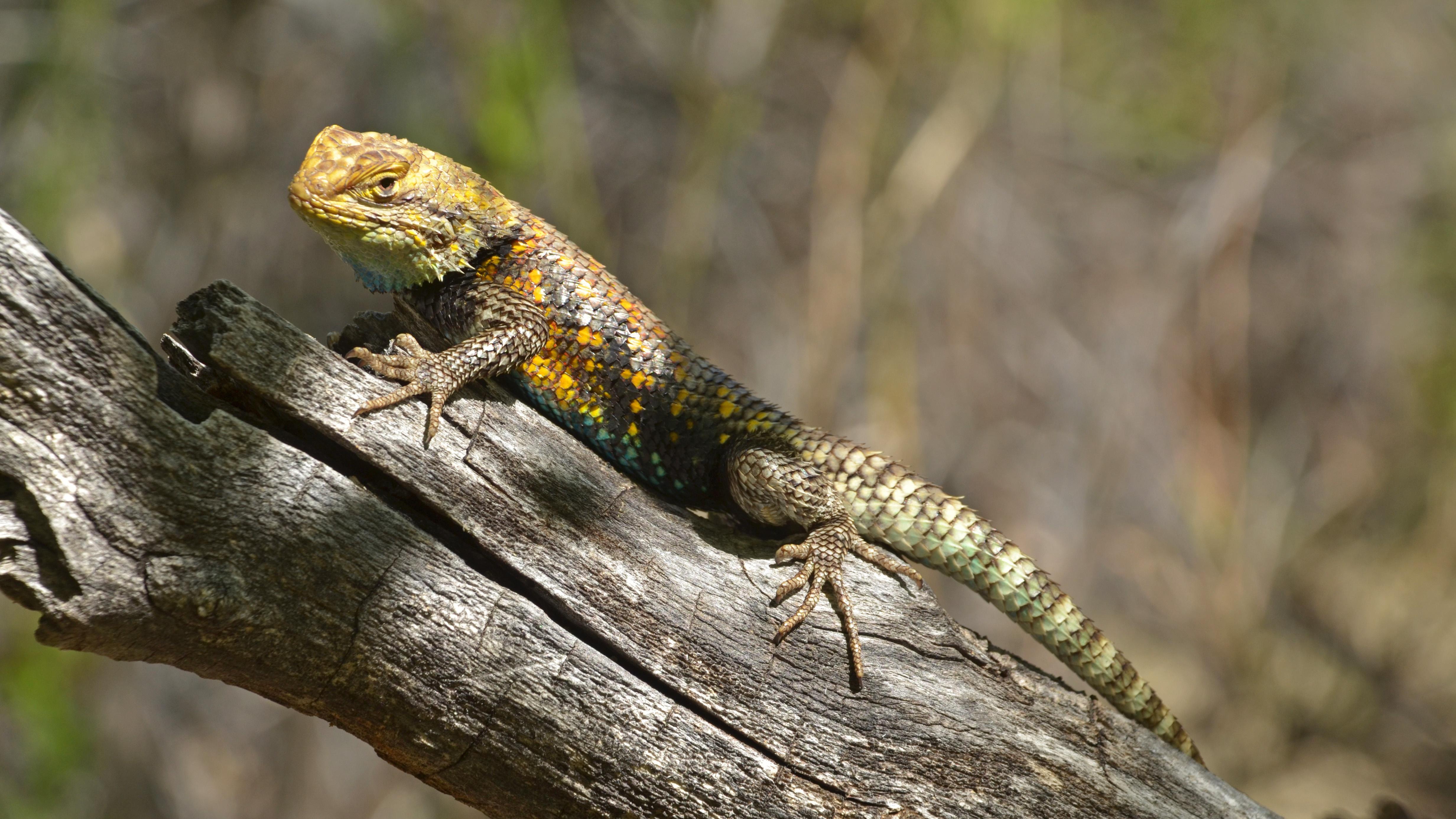 U S Lizard Spiny Lizard - ...