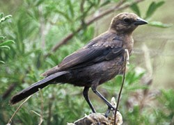 Brown-headed Cowbird (Female) Molothrus ater